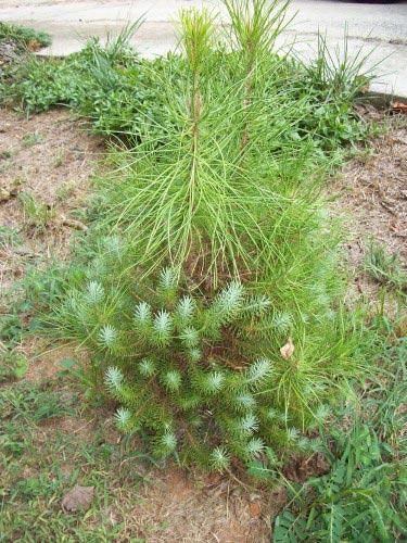 Italian stone pine - juvenile foliage and mature foliage