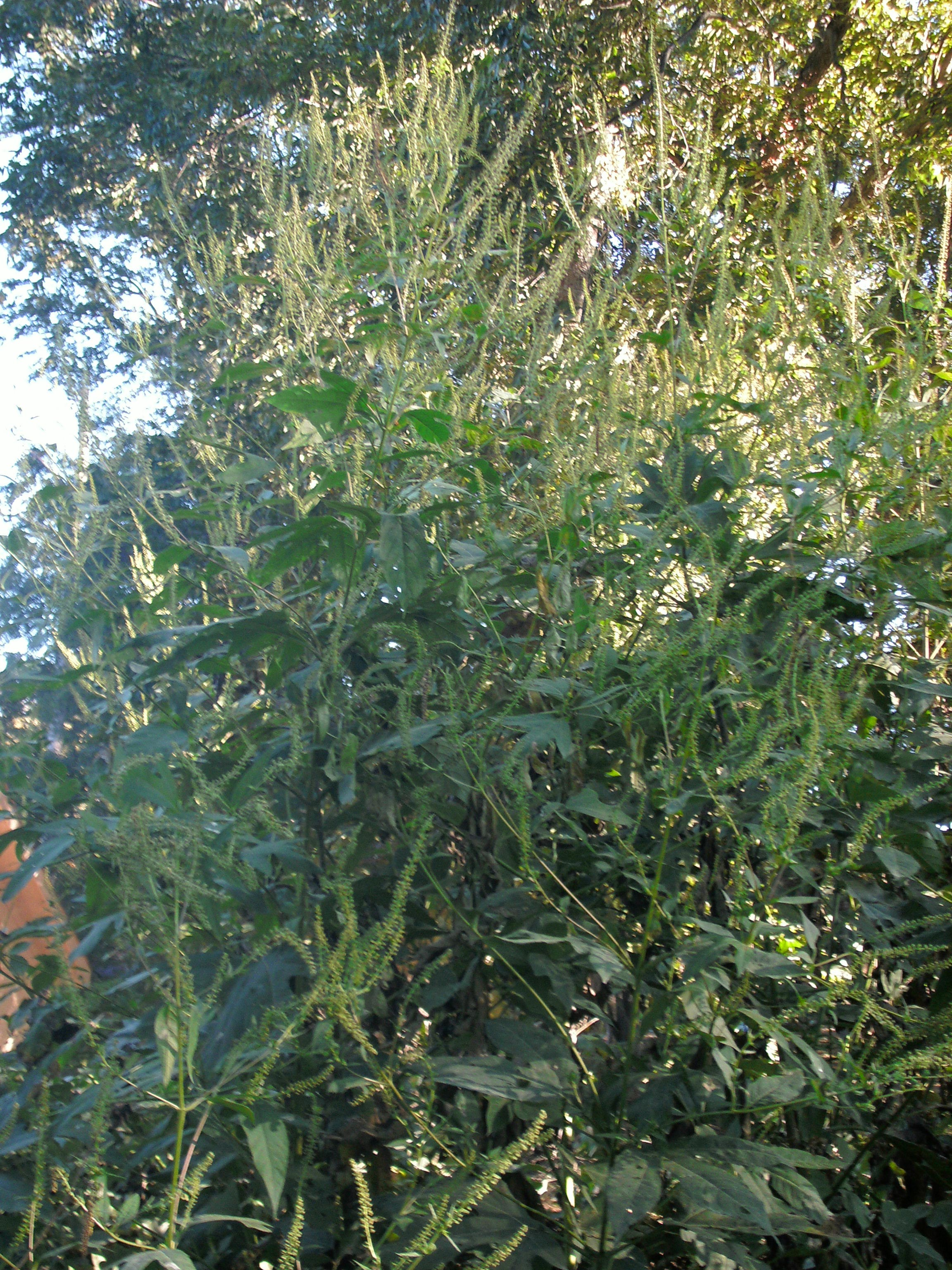Giant Ragweed – Identification | Walter Reeves: The Georgia Gardener