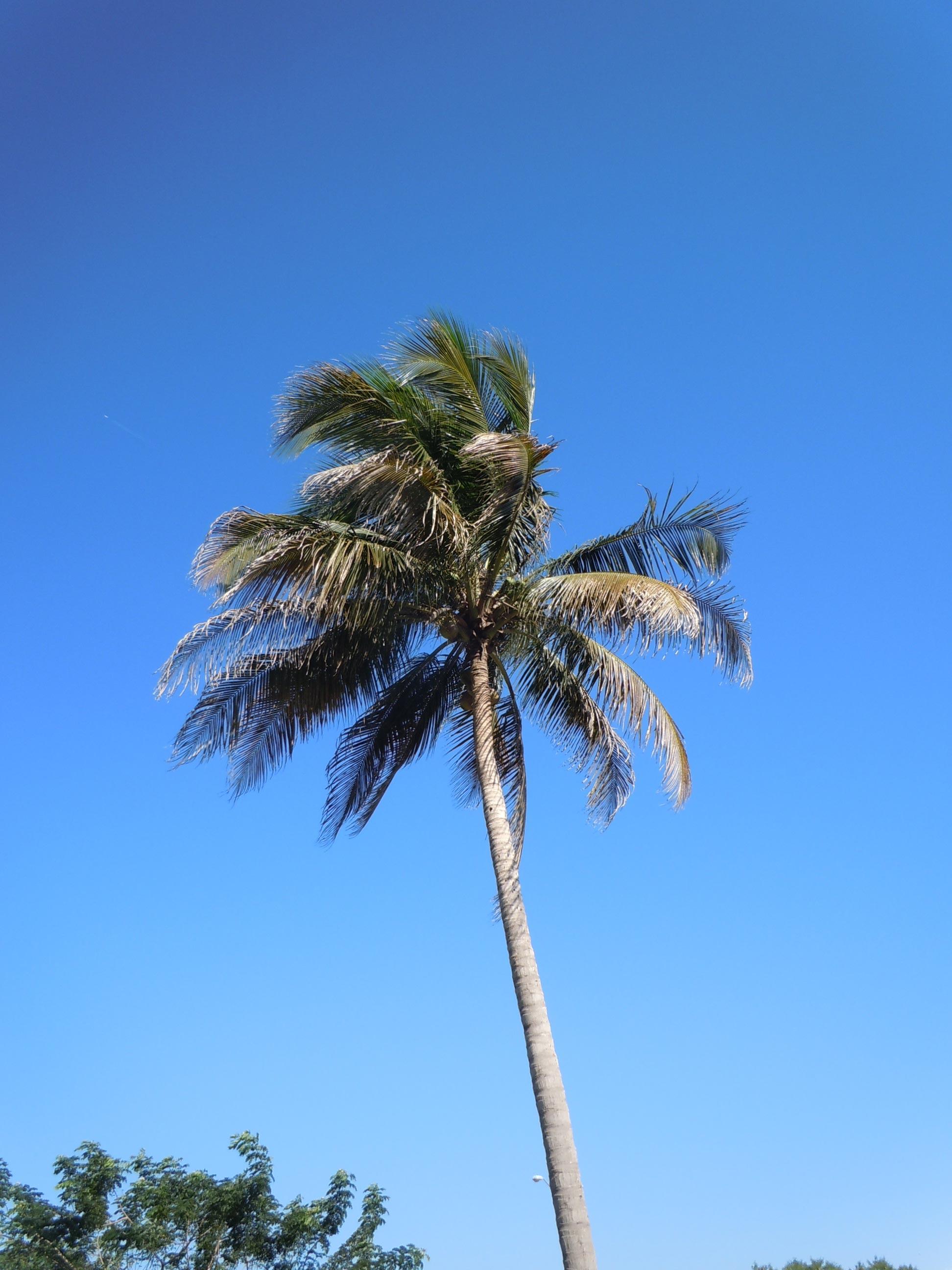 Palms Transplanting Walter Reeves The Georgia Gardener