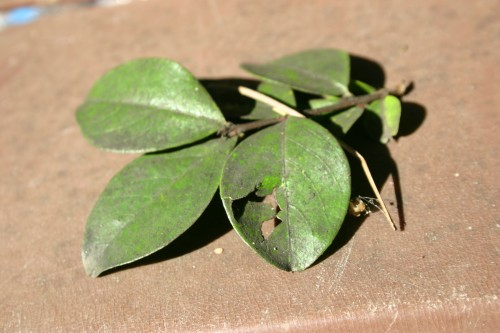 crapemyrtle sooty mold 1