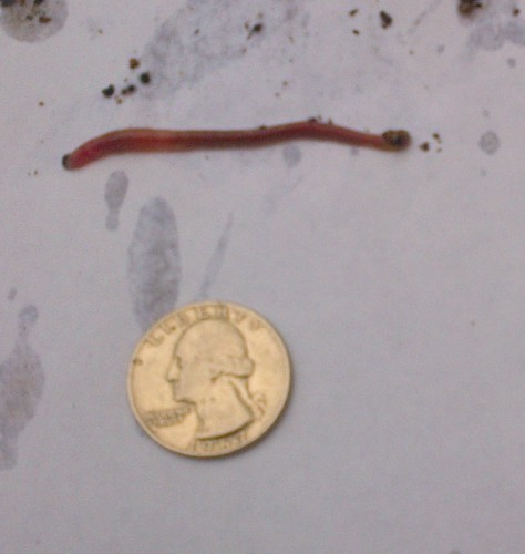 bloodworm 1