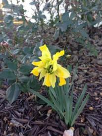 daffodil 'Van Sion'