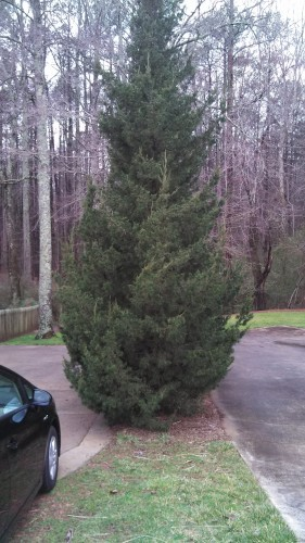 evergreen to prune