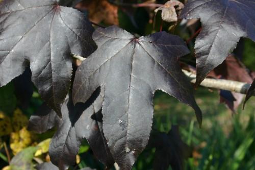 sweetgum leaves black 2