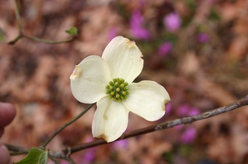 dogwood flower young