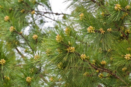 pine cones 2