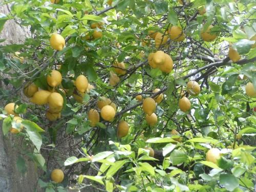 lemon trees lined the roads