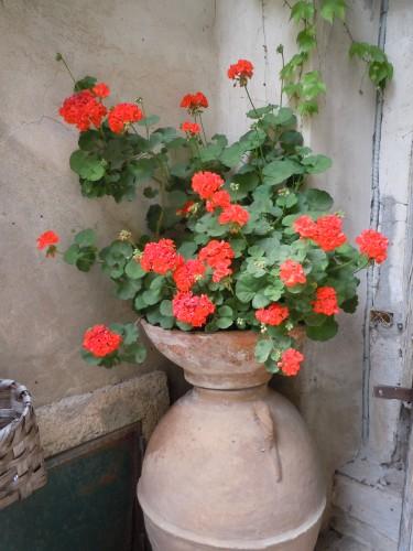geraniums grow outdoors all year long