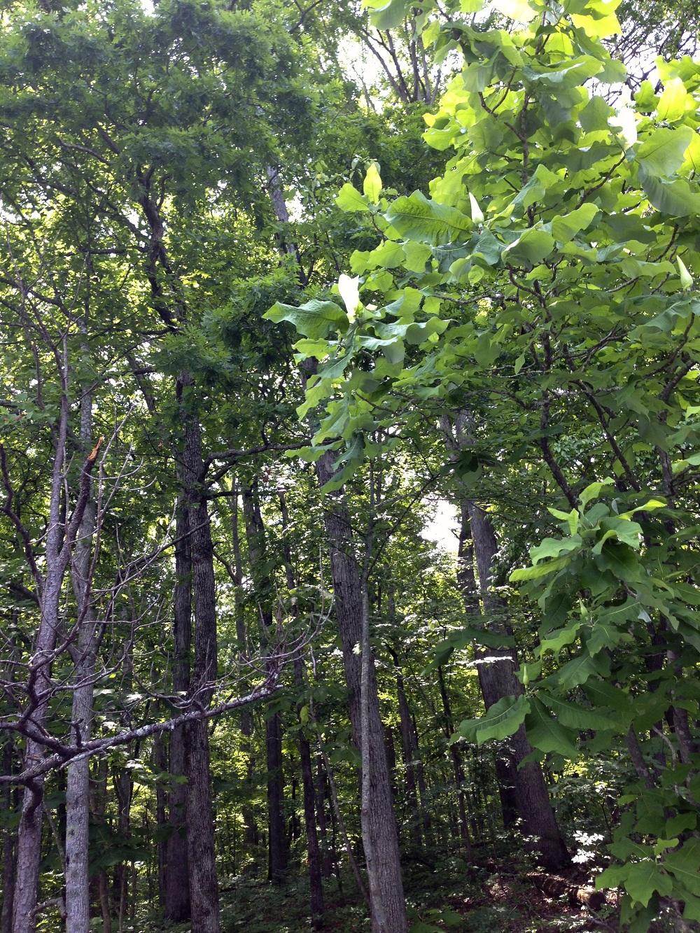 Deciduous Magnolia Identification Walter Reeves The