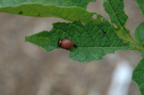 Colorado potato beetle 4