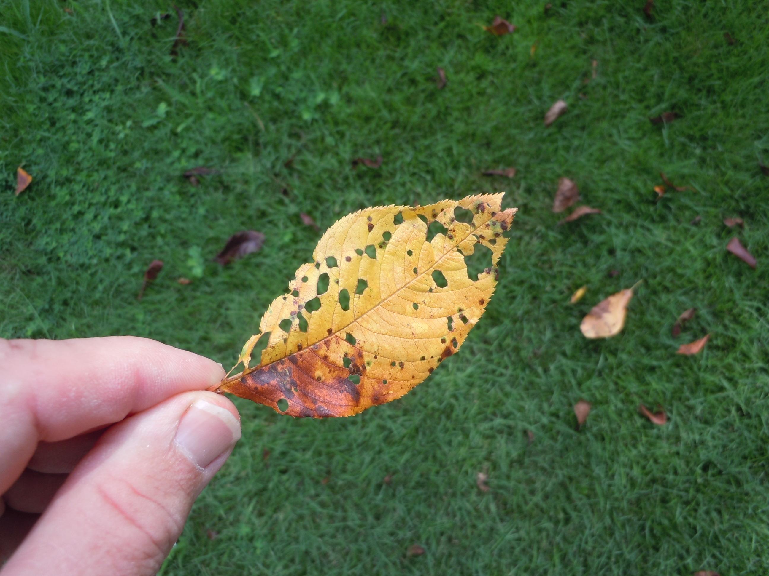 cherry  u2013 leaf spot disease