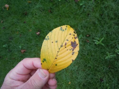 cherry leaf spot 3