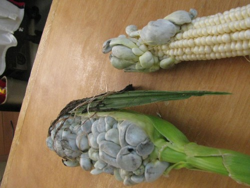 corn smut 1