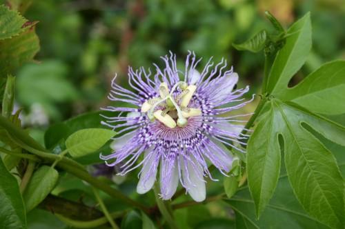 passionvine flower