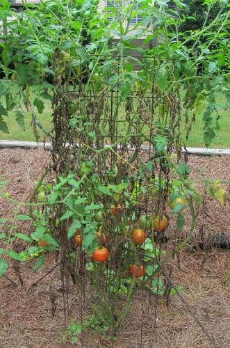 tomato septoria 7