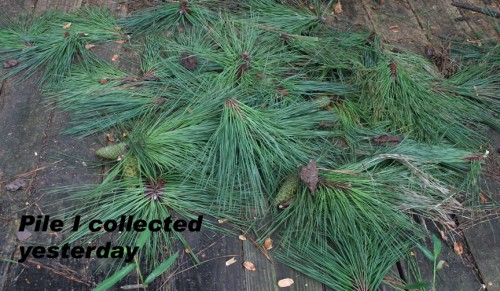 pine needle cluster 3
