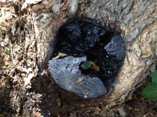 tree cavity 1