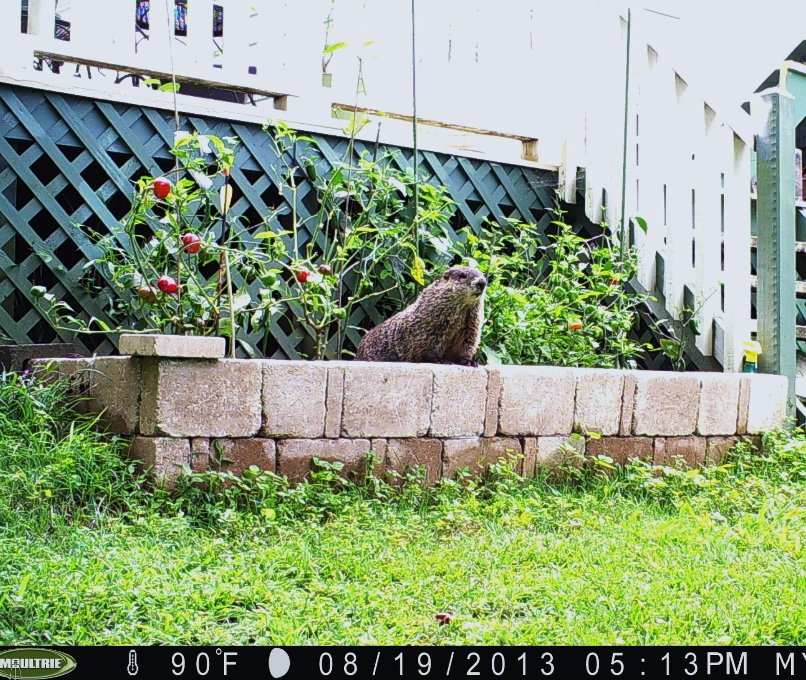 Groundhog Woodchuck Control Walter Reeves The