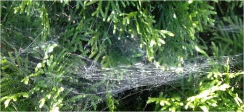 spider webs 4