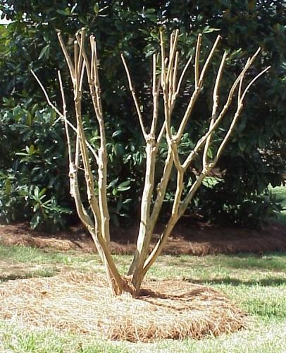 crape pruned