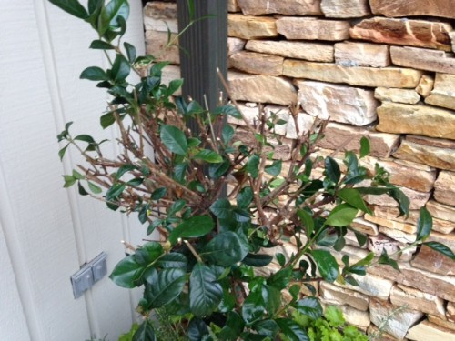 gardenia animal damage