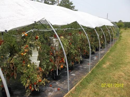 tomatoes 007