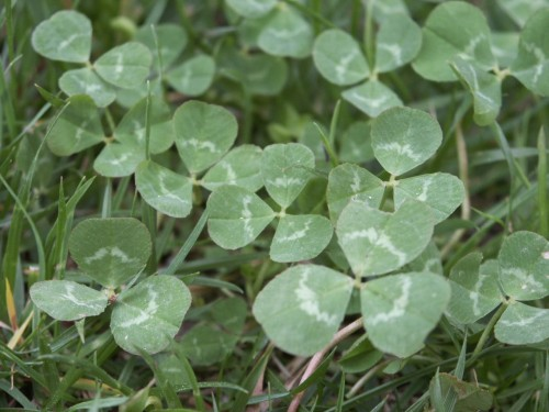 typical size white clover