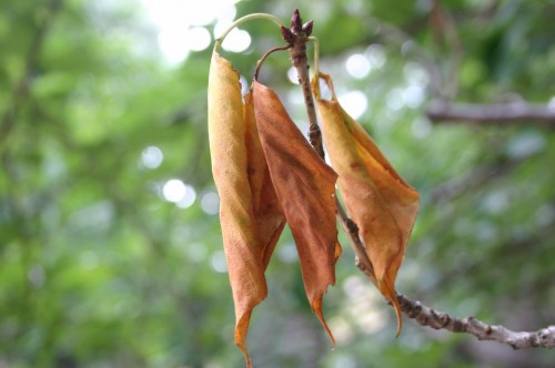 cherry dead leaves