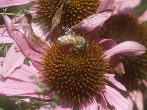 bee on coneflower 2