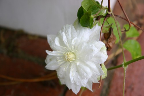 clematis double white