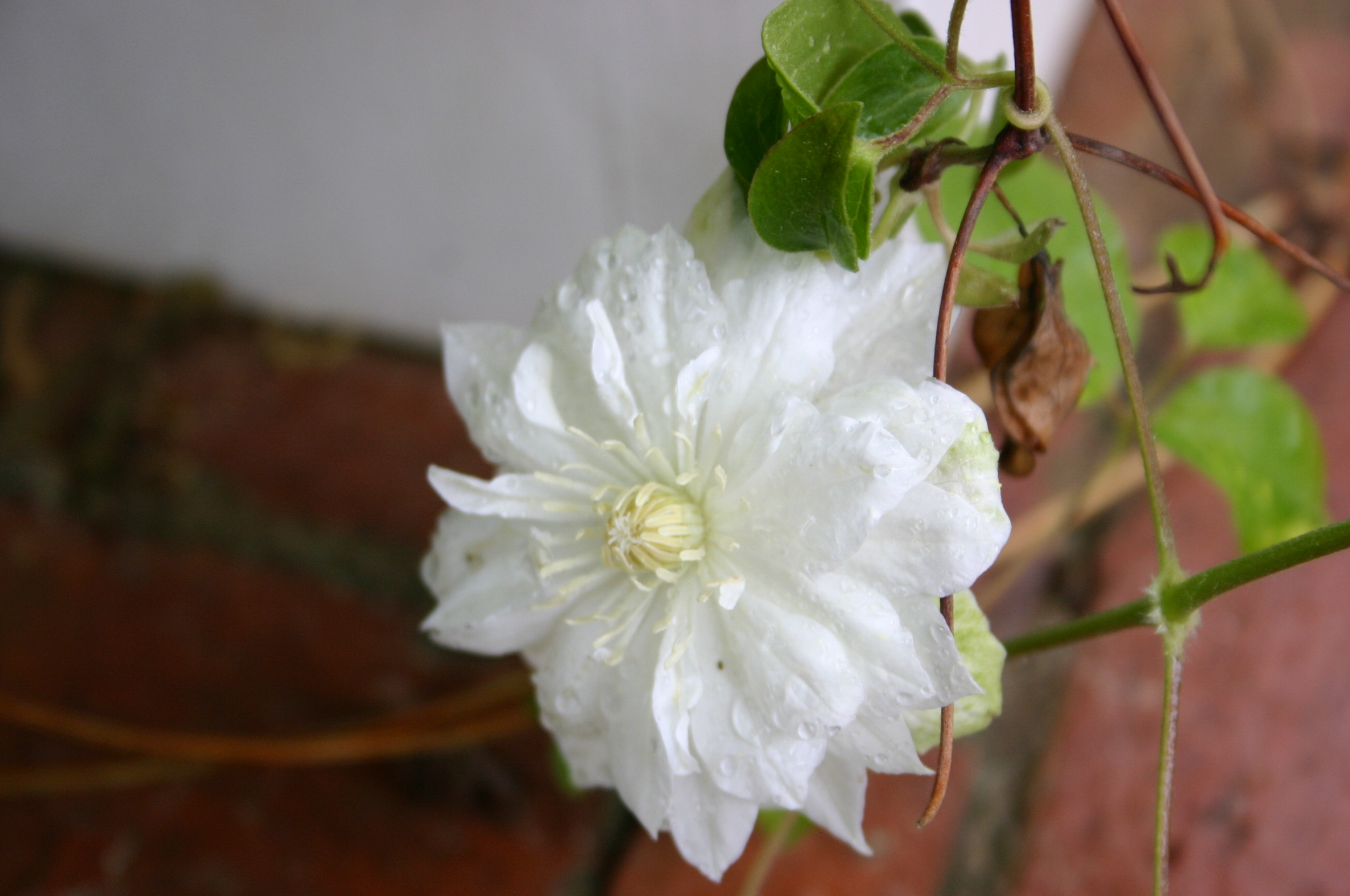 Clematis Best Ones For Georgia Walter Reeves The