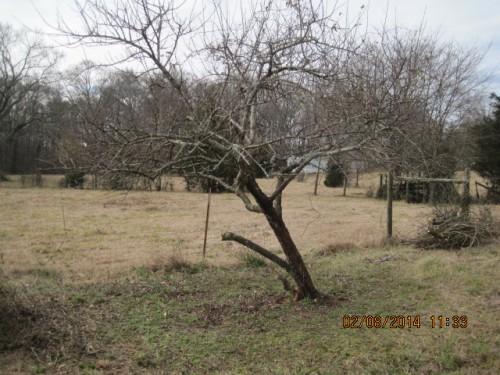 peach pruning 1