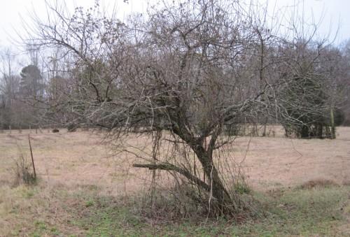 peach pruning 2