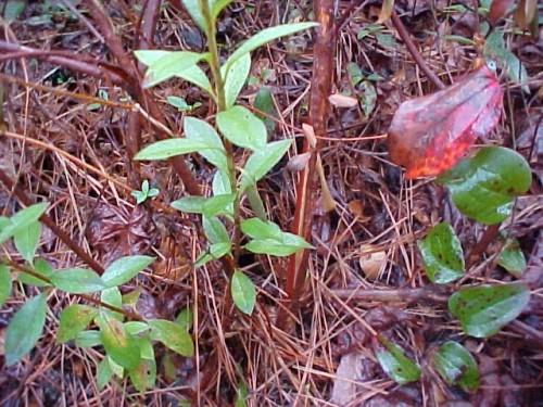 split bark on azalea