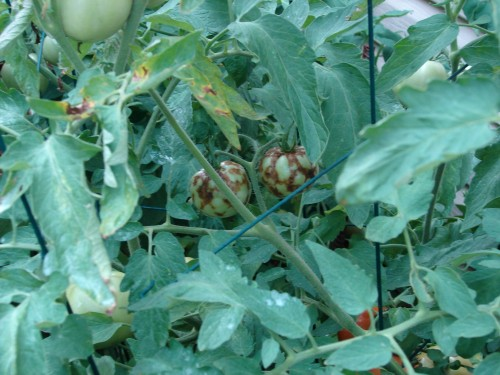 tomato spotted wilt virus 1 don't know source