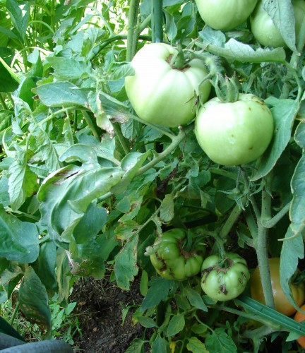 tomato spotted wilt virus 2 don't know source