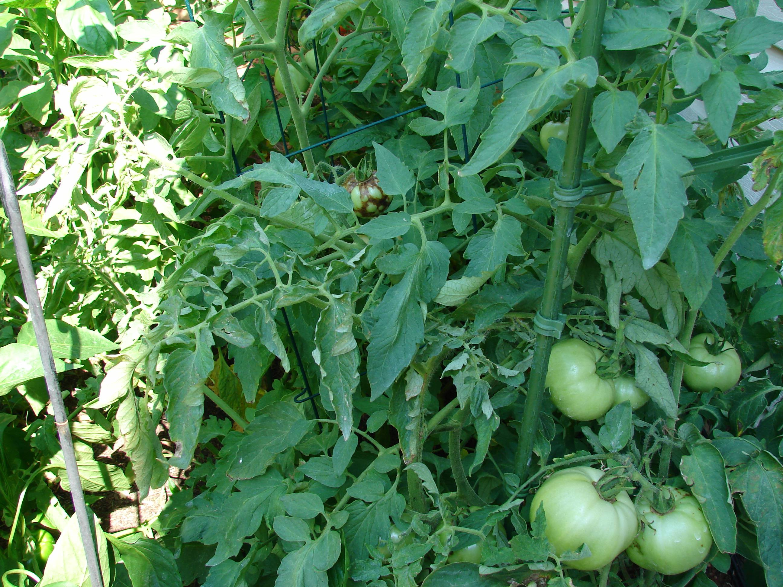 an overview of tomato spotted wilt virus A reduced risk system for managing thrips and tomato spotted wilt virus in tomato and pepper in the southeastern usa grant overview affiliation.