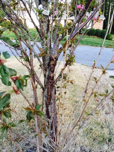 cherry planted too deep 2