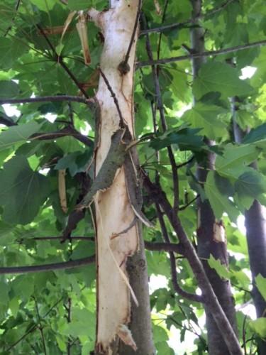 squirrel damage on maple 3