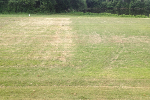 Side by side green up of two fine-textured zoysiagrasses taken on June 3, 2014 in Raleigh, NC. Note that both should be fully green and actively growing. The cultivar on the left had heavy winter injury and cultivar on right had moderate injury.