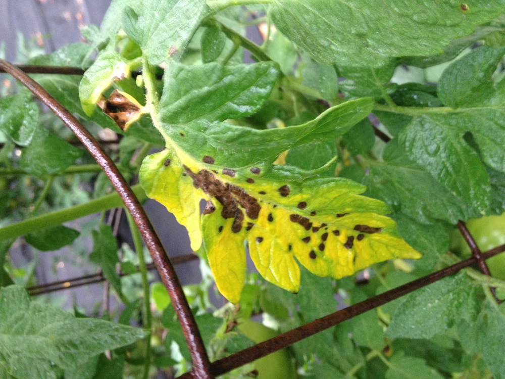 Tomato Early Blight Not Cured By Serenade Walter