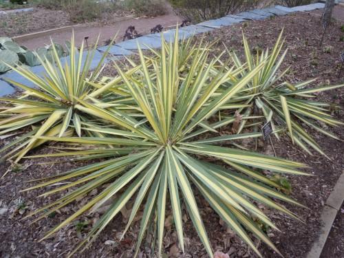 yucca filamentosa Color Guard 2