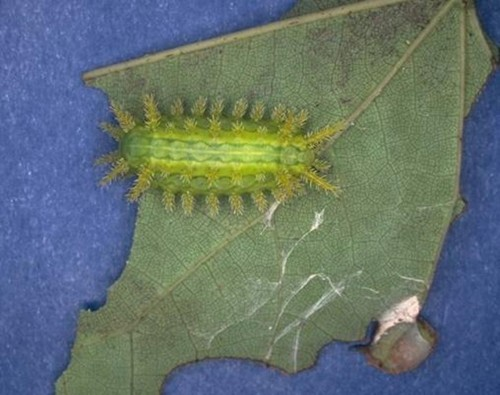 Stinging caterpillar Euclea delphinii