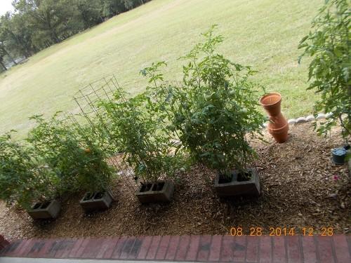 tomato growing in cinderblocks 3