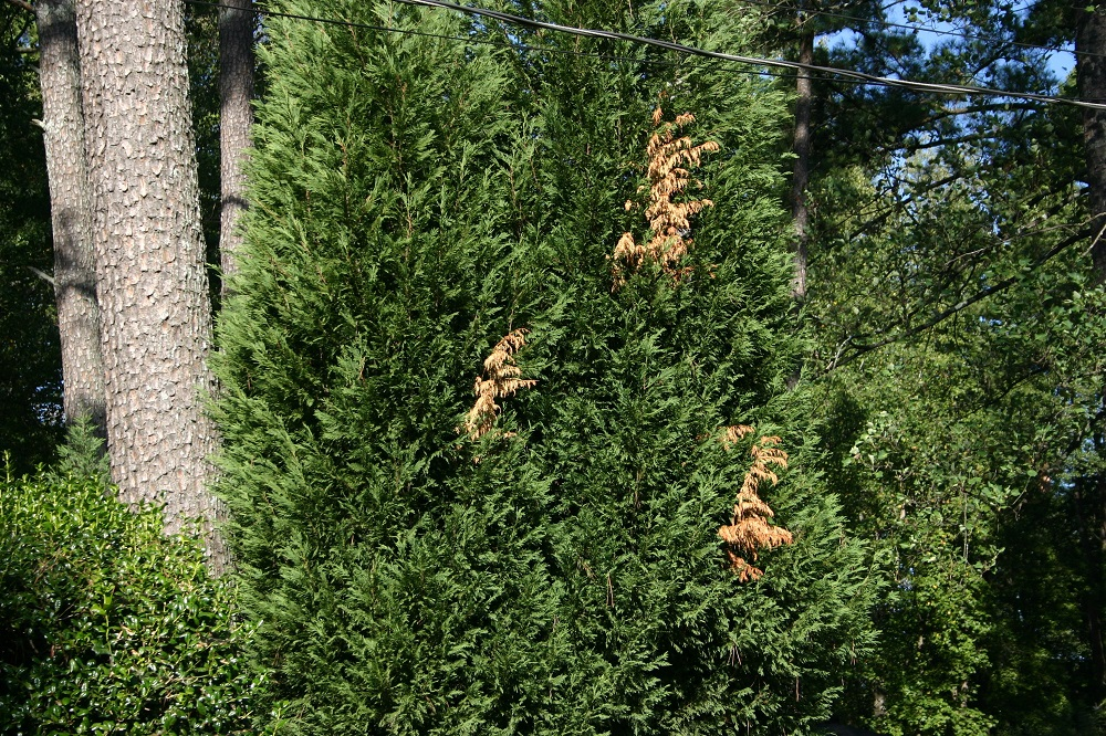Leyland Cypress Limited Lifespan Drought Damage Walter