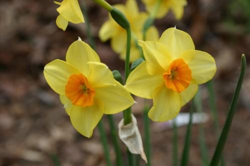 daffodil yellow orange
