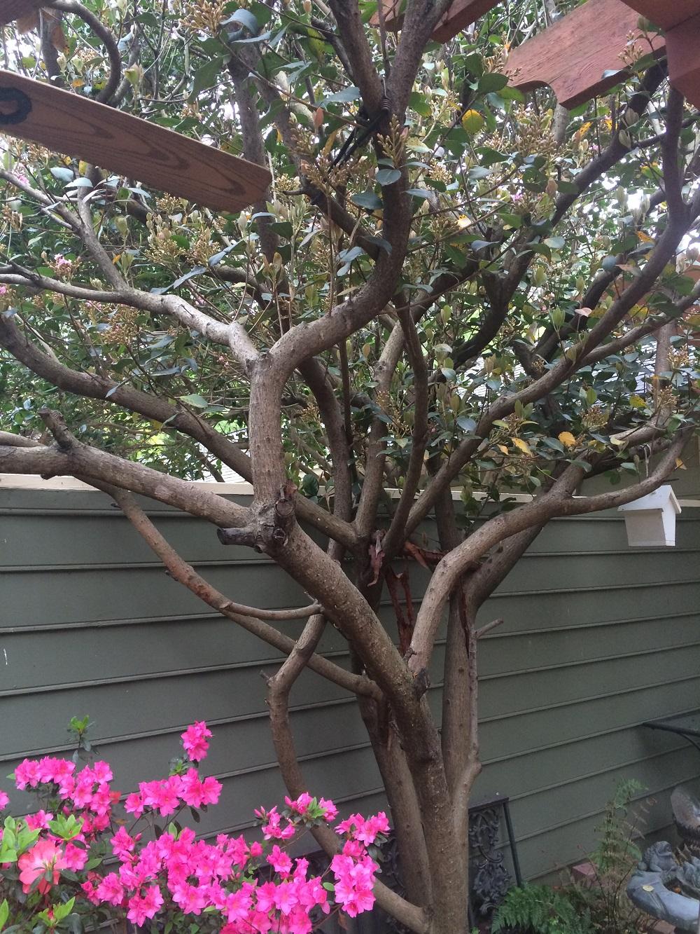 Indian Hawthorn Bush