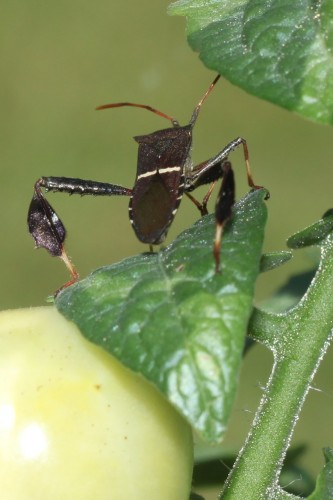 leaf footed bug 1