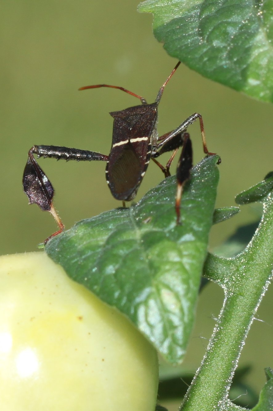Leaf-Footed Bugs – On Tomatoes | Walter Reeves: The Georgia Gardener