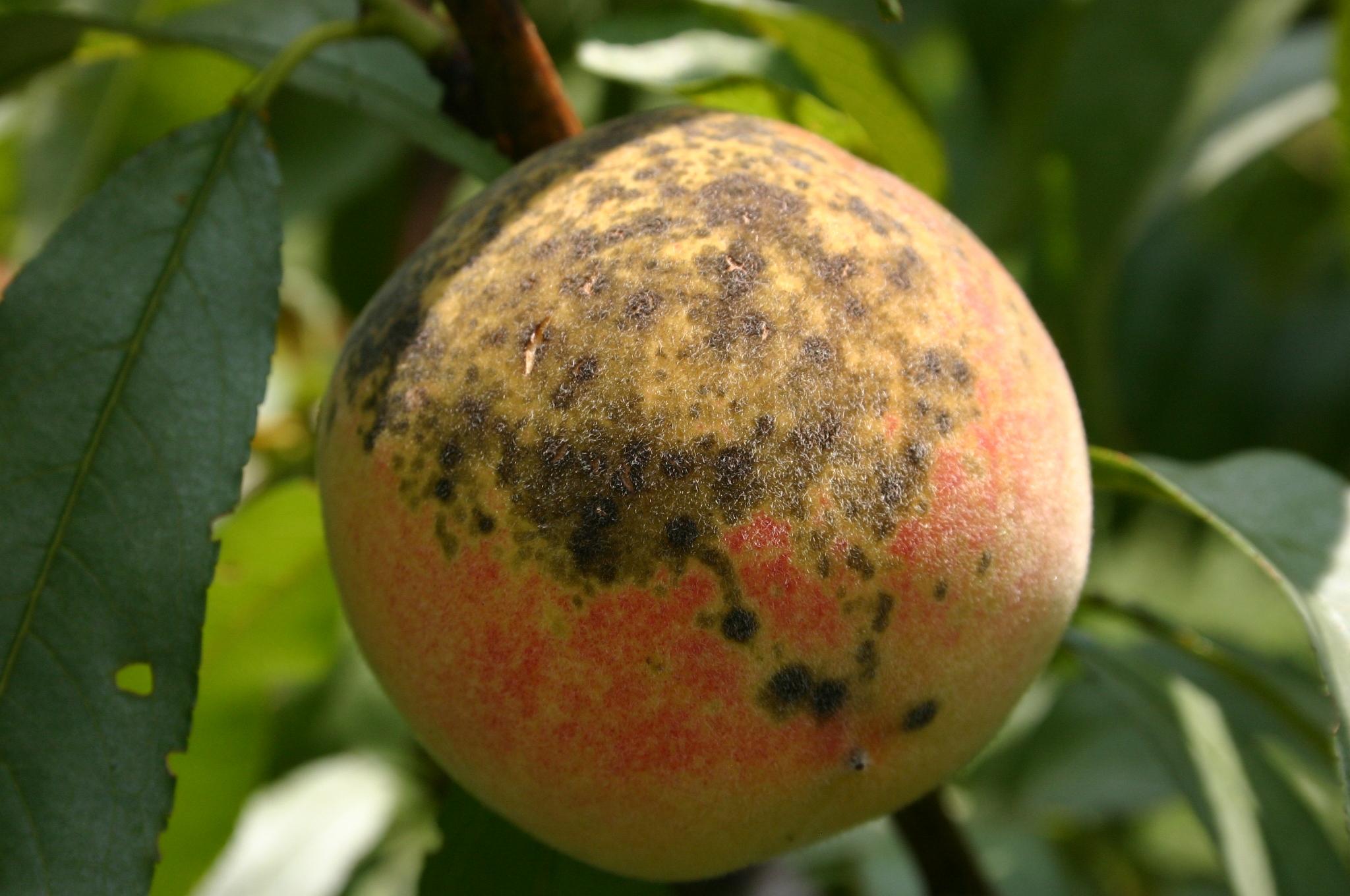 Growing Fruit Spray Guide Walter Reeves The Georgia